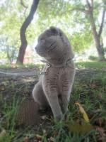 Кот вязка - шотландский вислоухий